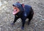 Tasmanian Devil Yawning.