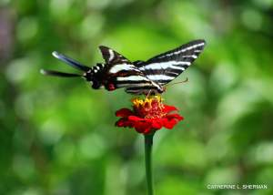 A Zebra Swallowtail Butterfly finds refreshment in a zinnia flower. Left click on the photo to see the greeting card photo.