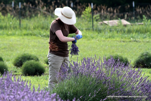 A young woman harvests lavender at a farm in Kansas.