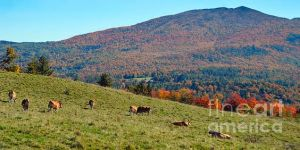 Vermont Cows on a Hillside in Autumn.