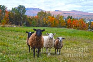 vermont-sheep-autumn
